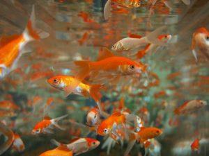 A gold fish aquarium after relocation