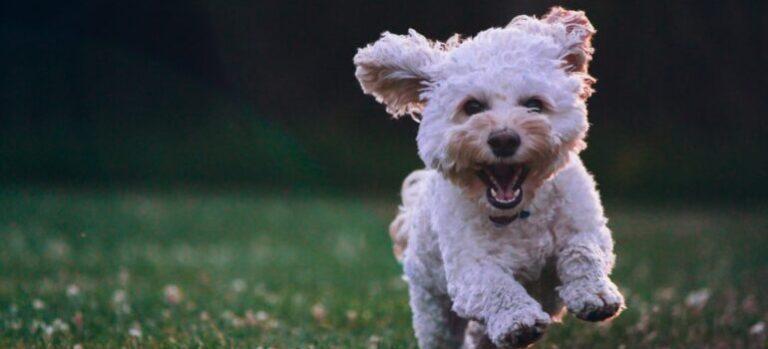 Happy dog runing